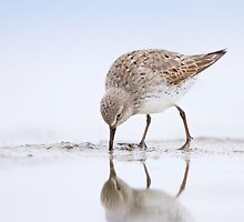 White-rumped Sandpiper Feeding. by Daniel Cadieux