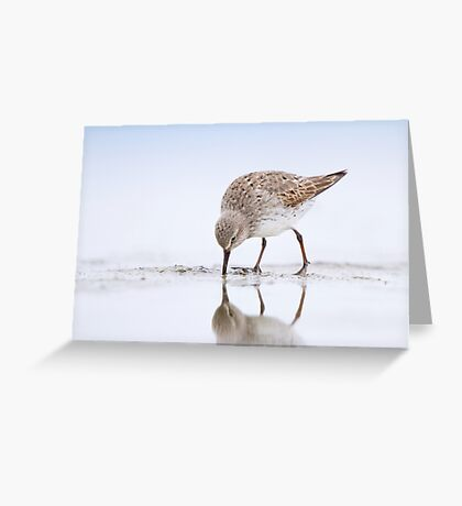 White-rumped Sandpiper Feeding. Greeting Card