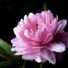 Pink Flowering Almond by Sharon Woerner