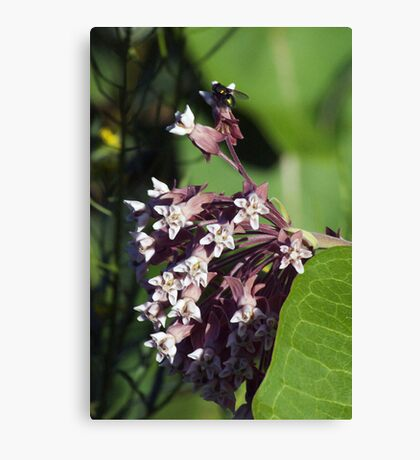 Wildfower Macro series: Flowering Common Milkweed Canvas Print