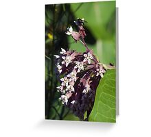 Wildfower Macro series: Flowering Common Milkweed Greeting Card