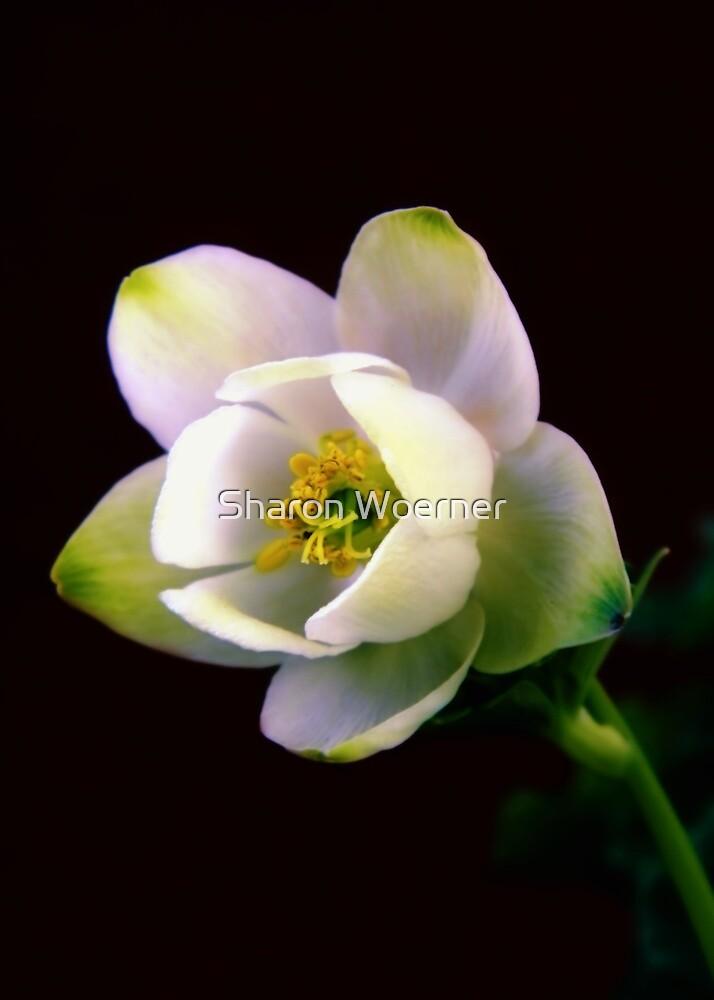 Helleborus Flower by Sharon Woerner