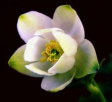 Helleborus Flower by Sharon Woerner