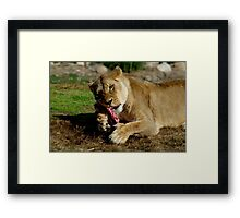 Lionesses Like Meat Too Framed Print