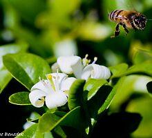 Native Bee on Muraya Flower by George Benedek