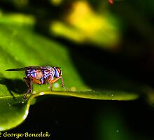 Fly on a leaf by George Benedek