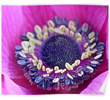 Layered Perfection: Anemone Poppy Centre Poster