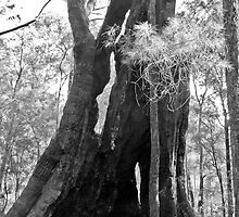 Old Tree in Black and White by pennyswork