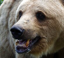 bear_8 by gallofoto