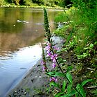 Purple Loosestrife by Jess Meacham