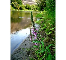 Purple Loosestrife Photographic Print