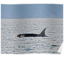 The Orca Mom and Babe  Poster