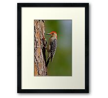 Red-bellied Woodpecker Framed Print