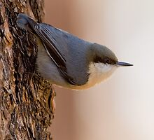 Brown-headed Nuthatch  by William C. Gladish