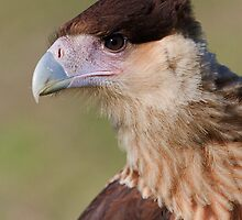 Caracara by William C. Gladish