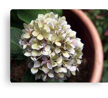 potted hydrangea Canvas Print