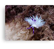 Blue Dragon sea slug, Nelson Bay, Australia Canvas Print