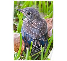 Fledgling Bluebird on its Maiden Flight Poster