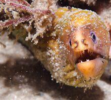 Green Moray Eel, Nelson Bay, Australia by Emma M Birdsey