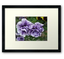 Fancy Nancies - Double Petunias Framed Print