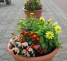 Pansies Peeping and Dahlias Dancing by MidnightMelody