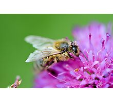 Bee with pollen, English garden, East Sussex Photographic Print