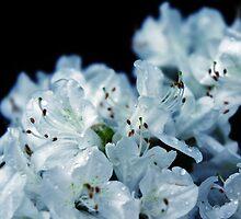 Rain Kissed White Azaleas  by Lilliana Méndez