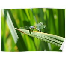 Perched Western Pondhawk  Poster