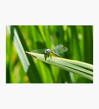 Perched Western Pondhawk  Photographic Print