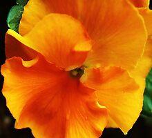 Orange You A Pansy by Lilliana Méndez