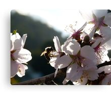 Among the Blossom Canvas Print