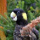 YELLOW-TAILED COCKATOO MARLO VIC. by helmutk