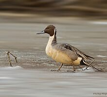 Northern Pintail by KatMagic Photography