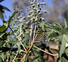 Fruits and leaves of the Castor oil plant (Ricinus). by Zosimus
