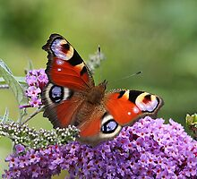 Peacock Butterfly by Rivendell7