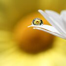 Yellow Daisy by Melinda Gaal