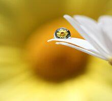Yellow Daisy by Melinda Gaal