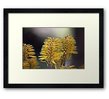 Aloe (Aloe berhana) in Africa Framed Print