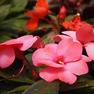 impatiens series sooc 4 by Linda  Makiej