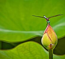 Dragonfly On A Lotus Bud by Lightengr