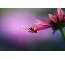 Ladybird on pink flower Photographic Print