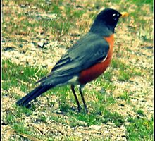 Red Breasted Robin by RonniLynn2012