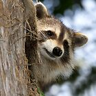 young raccoon 3 2012 by leftysphotos