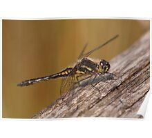 Black Darter Dragonfly Poster