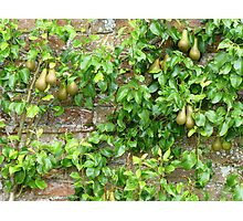 Espaliered Conference Pears Photographic Print