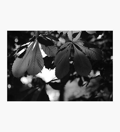 Chestnut Leaves Photographic Print