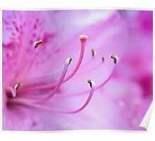 Pink Azalea Flower Poster