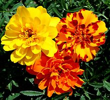 Flowers Marigolds Yellow Orange Rust by HQPhotos