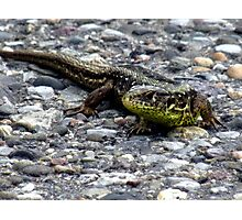 Sand Lizard Reptile Animal Nature Lizard Photographic Print