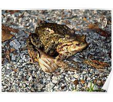 Toads Amphibians Water Animal Pairing Nature Poster